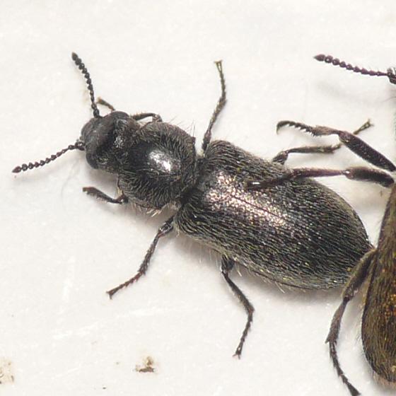 Dasytinae from California (3) 10.07.19 - Trichochrous sordidus