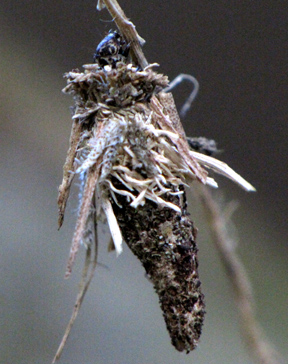 Bagworm Moth caterpillar