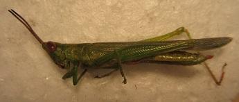 Pyrgomorphidae? - Stenacris vitreipennis - female
