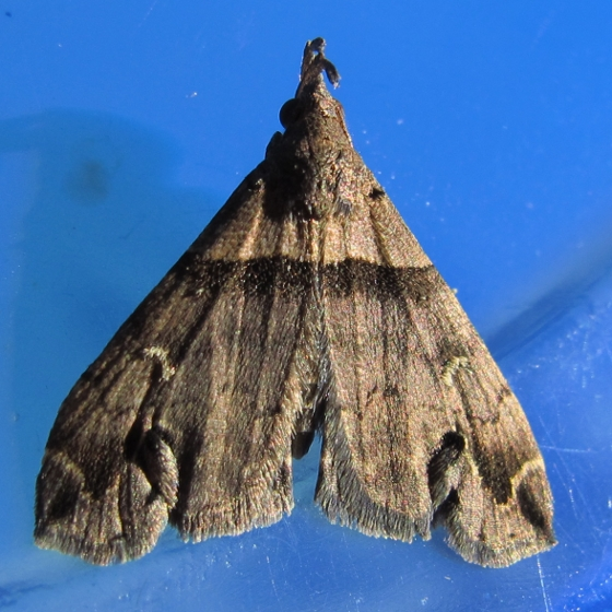 moth - Lascoria ambigualis