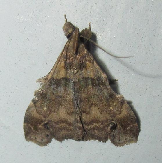 Hodges #8395 - Lascoria alucitalis M?  - Lascoria orneodalis - male