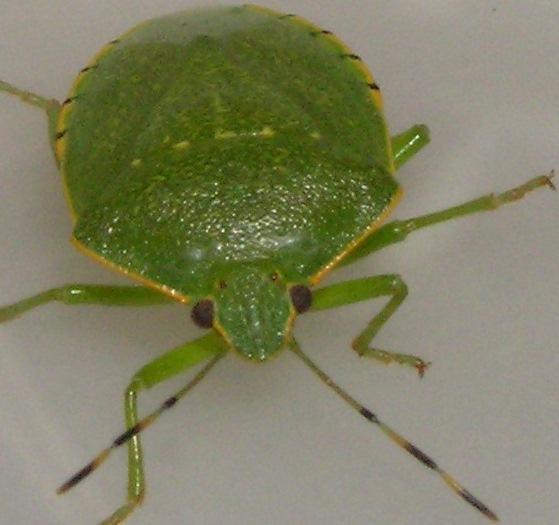 Green Stinkbug - Chinavia hilaris