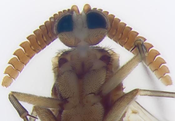 Keroplatidae, antennae - Keroplatus militaris - male
