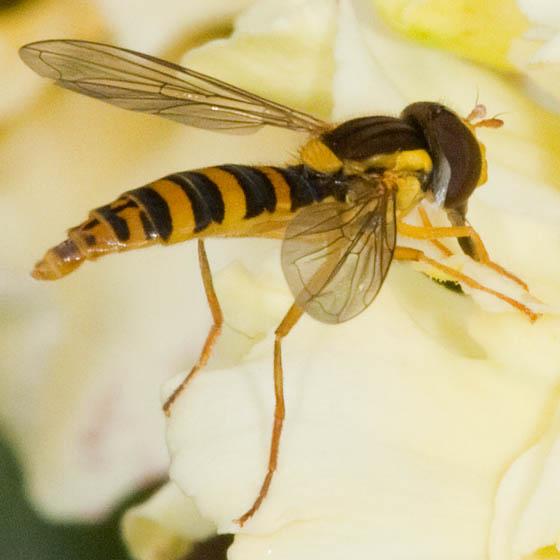 Syrphidae ? - Sphaerophoria