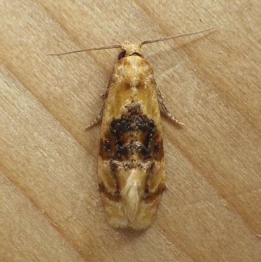 Tortricidae: Cochylis hospes - Cochylichroa hospes
