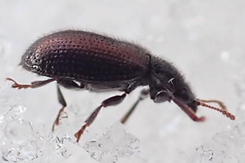 Beetle on snow - Laricobius rubidus
