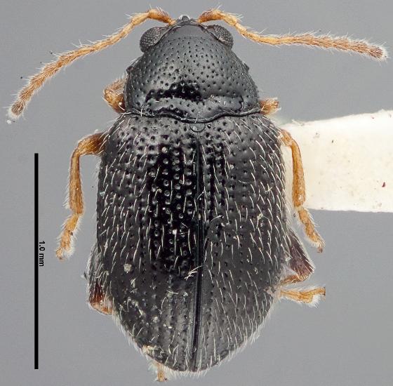 Epitrix cucumeris - male