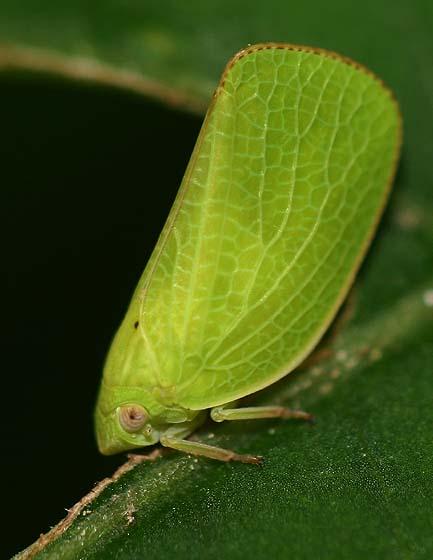 Planthopper - Acanalonia conica