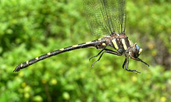 Pacific Spiketail - Cordulegaster dorsalis - male
