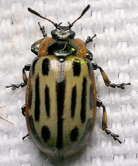 leaf beetle - Chrysomela scripta