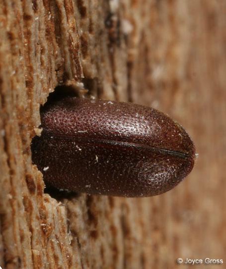 death-watch beetle - Ptilinus ruficornis