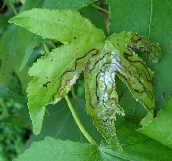 Leaf Mines on Sweet Gum - Phyllocnistis liquidambarisella