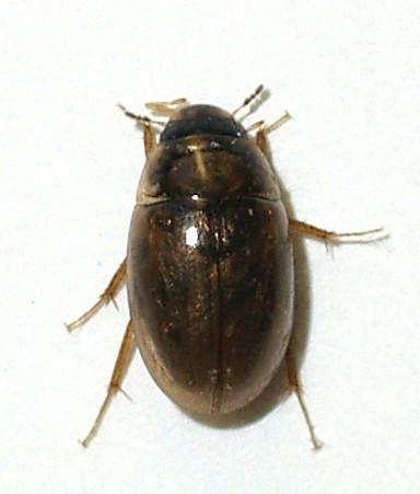 Tiny Hydrophilidae - Enochrus pygmaeus
