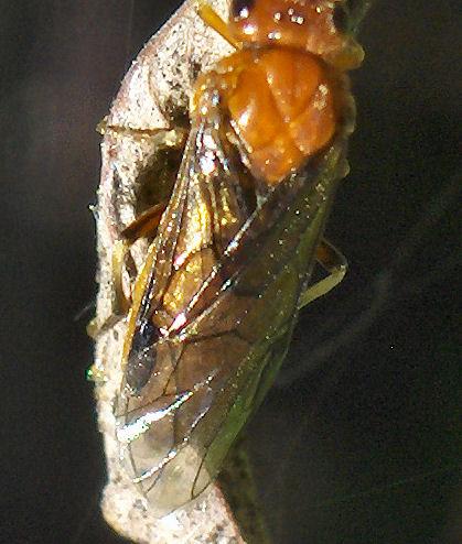 Orange wasp - Hemichroa crocea