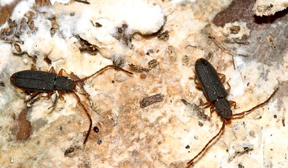 Flat Bark Beetle - Uleiota debilis