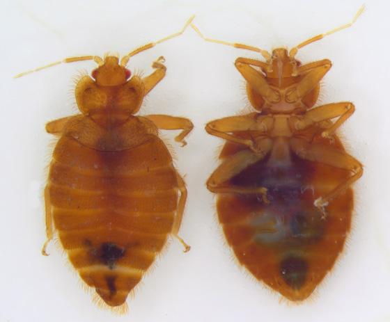 yatak böceği ile ilgili görsel sonucu
