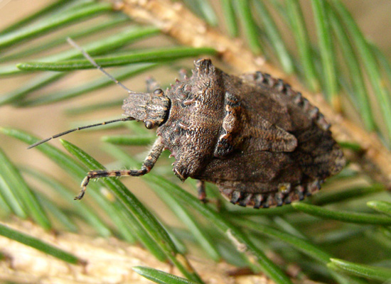 Pentatomidae - Brochymena arborea
