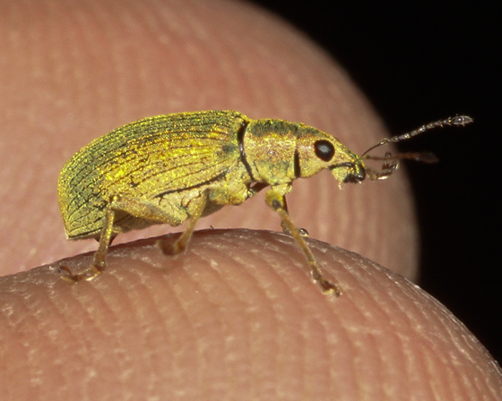 Green Immigrant Leaf Weevil - Polydrusus formosus