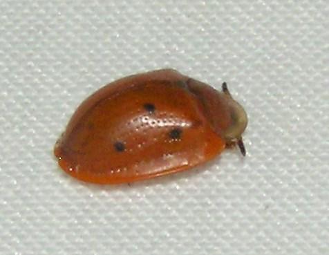 Black-legged - Jonthonota nigripes