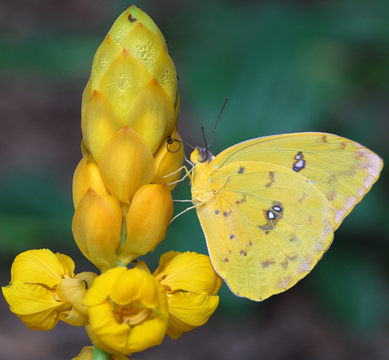 orange-barred sulphur - Phoebis philea