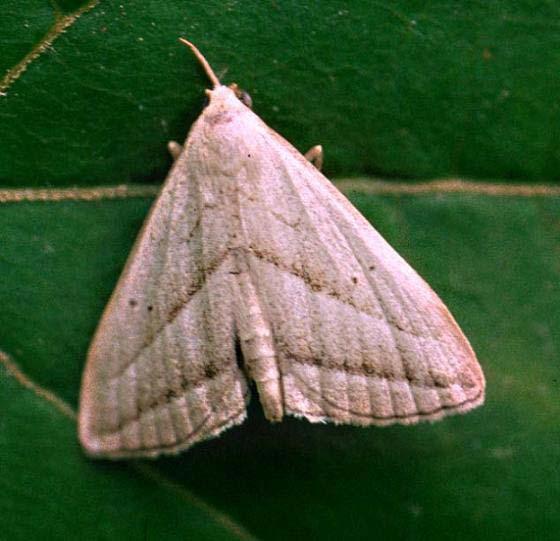 Slant-Lined Owlet - Macrochilo absorptalis