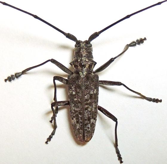 Monochamus titillator - male