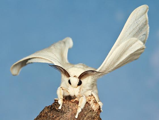 Bombyx mori - male