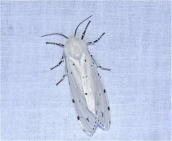 White Moth - Estigmene