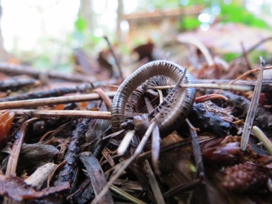 Unknown Millipede - Bollmaniulus