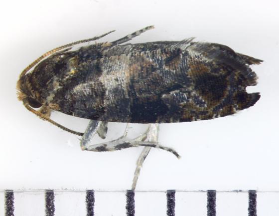 Olethreutinae - Lobesia carduana