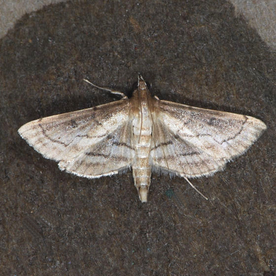 Moth for ID ??? - Cnaphalocrocis trapezalis