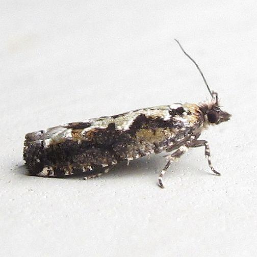 Hodges #3273 - Filigreed Chimoptesis  - Chimoptesis pennsylvaniana
