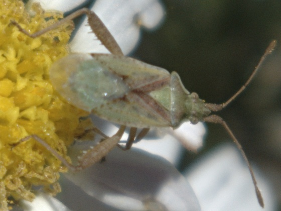 Little bug with long beak and X on back - Harmostes