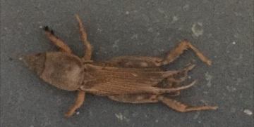 What is this? - Neoscapteriscus vicinus
