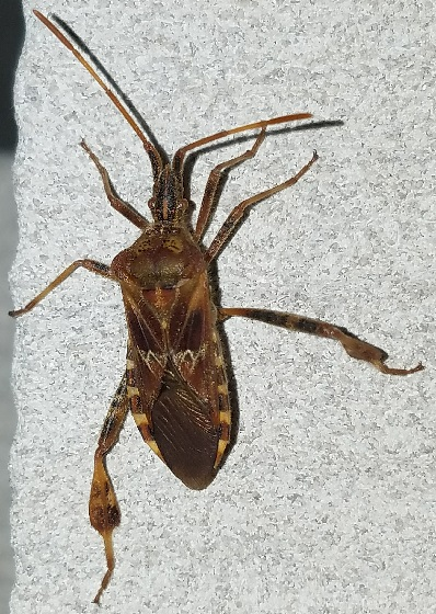 Leptoglossus occidentalis (Western Conifer Seed Bug) - Leptoglossus occidentalis