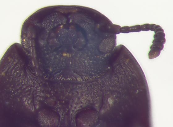 Tenebrionidae, head, ventral - Blapstinus metallicus