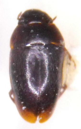 Limnebius alutaceus (Casey) - Limnebius alutaceus