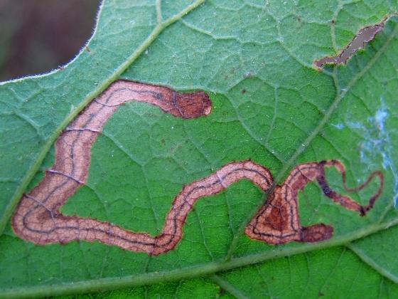 leaf mine on oak - Stigmella saginella