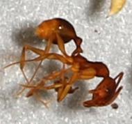 15850-1 - Aphaenogaster - female