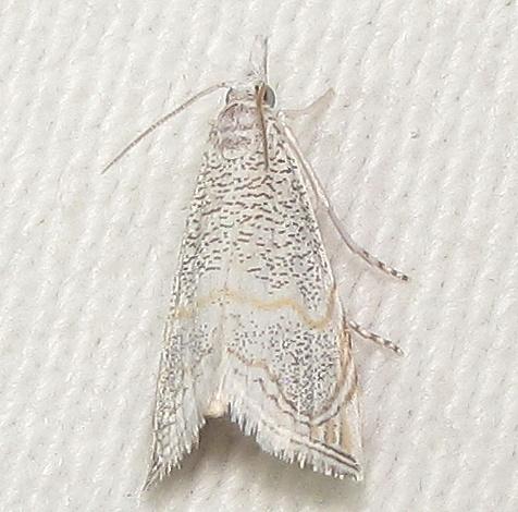 5483 Haimbachia arizonensis?  - Haimbachia arizonensis