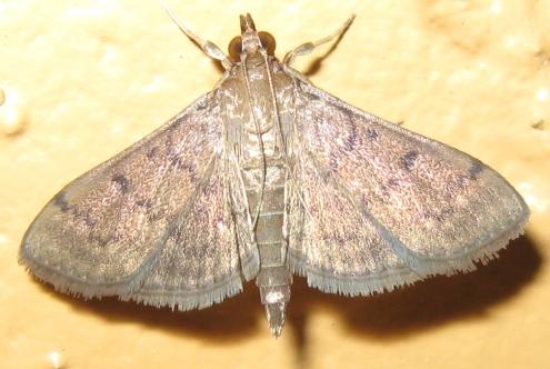 Dusky Herpetogramma - Herpetogramma phaeopteralis