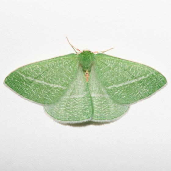 Bank's Emerald - Chlorosea banksaria