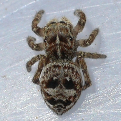 spider - Sittiflor palustris - female