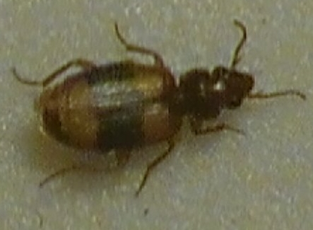 what kind of bug is this??? - Somotrichus unifasciatus