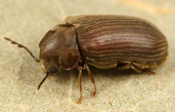 death watch beetle - Vrilletta