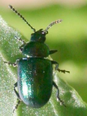 Beetle ID Request [2008] - Gastrophysa cyanea