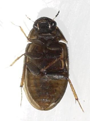 beetle - Enochrus