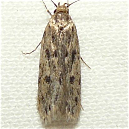 Brown House Moth? - Hofmannophila pseudospretella