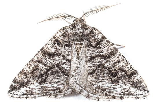 Itame (Speranza) schatzeata - Macaria schatzeata - male