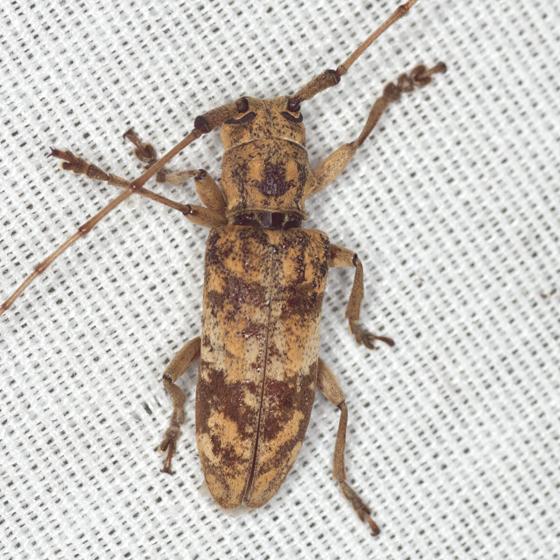 Longhorned Beetle - Goes variegatus